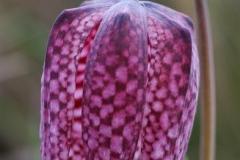 Kockás-liliom